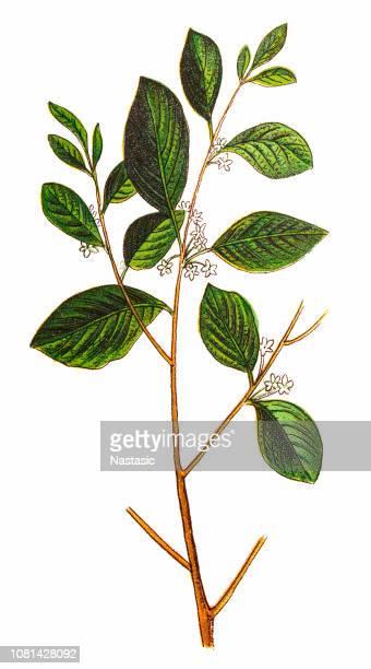 rhamnus frangula, (frangula alnus), the alder buckthorn - arrowwood stock illustrations, clip art, cartoons, & icons