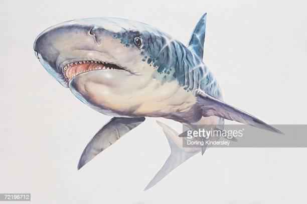 rhincodon typus, whale shark, low angle view. - ジンベエザメ点のイラスト素材/クリップアート素材/マンガ素材/アイコン素材