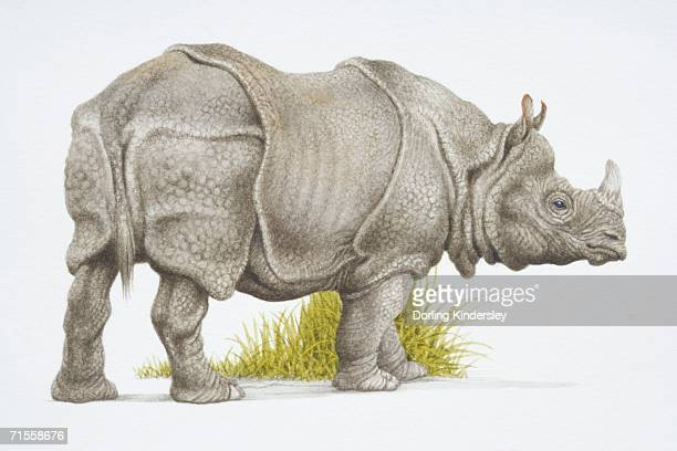 Rhinoceros unicornis, Indian rhinoceros, side view.