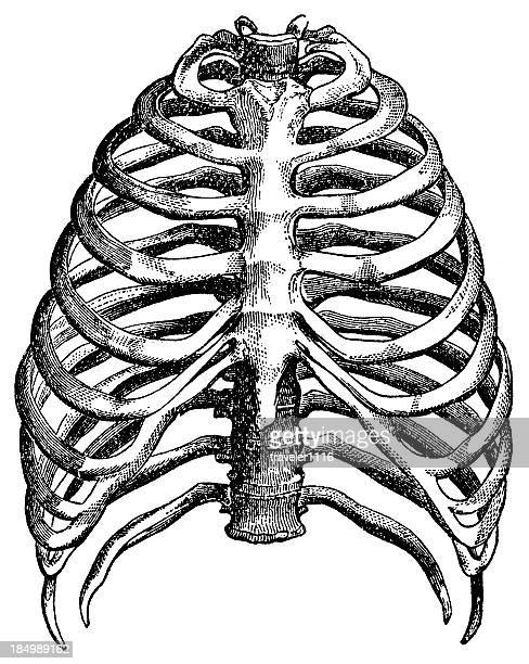 rib cage - skeleton stock illustrations, clip art, cartoons, & icons