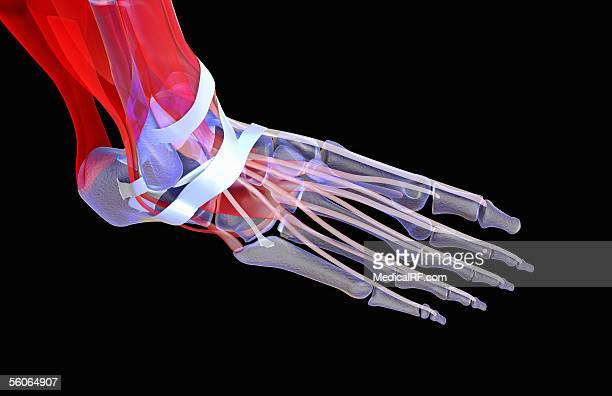 ilustraciones, imágenes clip art, dibujos animados e iconos de stock de right lateral stylised view, angled from the front of a muscular skeletal foot. - hueso de la pierna