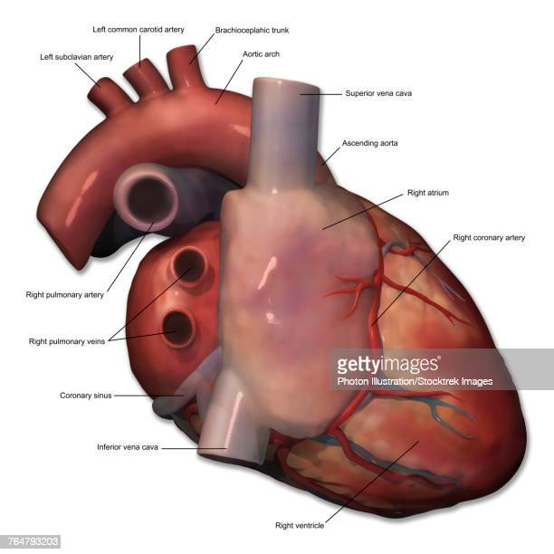 Subclavian Artery Stock Illustrations And Cartoons Getty Images