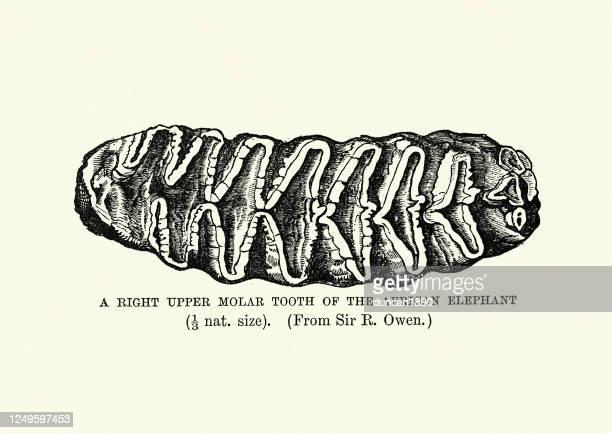 right upper molar tooth of african elephant - molar stock illustrations