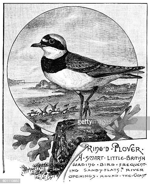 Ringed plover - Victorian illustration