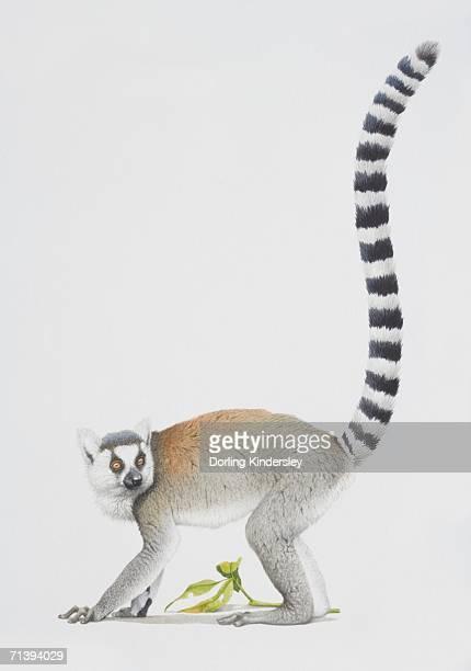 ring-tailed lemur, lemur catta, grey lemur facing left with a long striped tail. - lemur stock illustrations, clip art, cartoons, & icons
