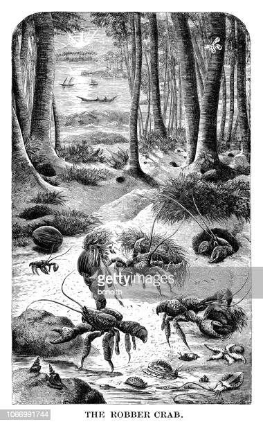 robber crabs - coconut crab stock illustrations
