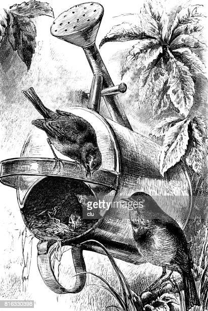 Robin nest in watering can