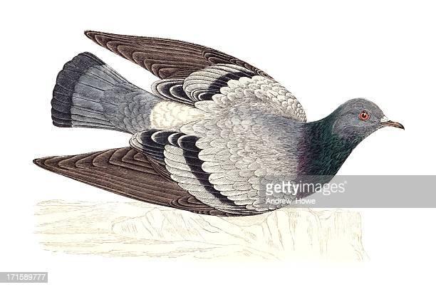 illustrations, cliparts, dessins animés et icônes de pigeon biset main colorée objet gravé - colombe