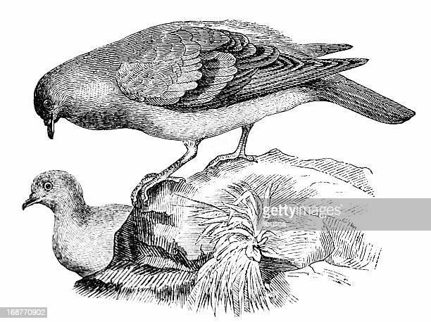 ilustraciones, imágenes clip art, dibujos animados e iconos de stock de rock dove (columba livia - paloma blanca