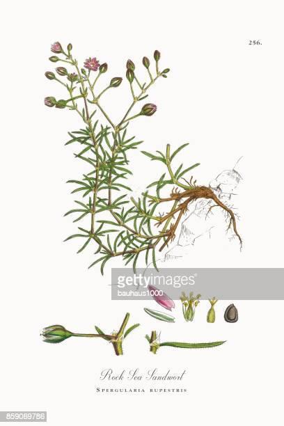 ilustrações, clipart, desenhos animados e ícones de pedra do mar sandwort, spergularia rupestris, ilustração botânica vitoriana, 1863 - chickweed
