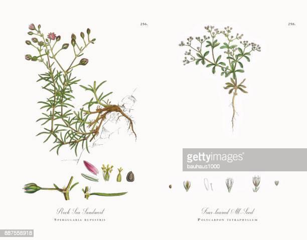 rock sea sandwort, spergularia rupestris, victorian botanical illustration, 1863 - sandwort stock illustrations, clip art, cartoons, & icons