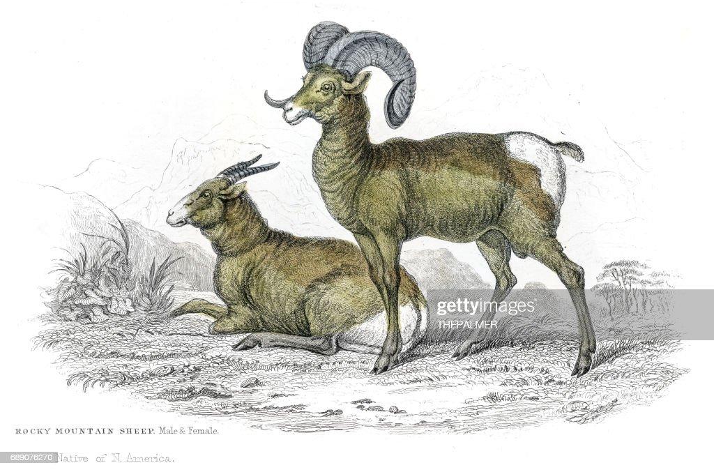 Rocky mountain sheep lithograph 1884 : Stock Illustration