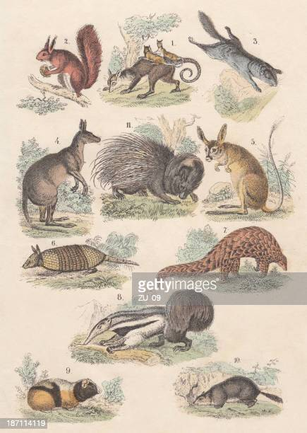 rodents, hand-colored lithograph, published in 1880 - anteater stock illustrations
