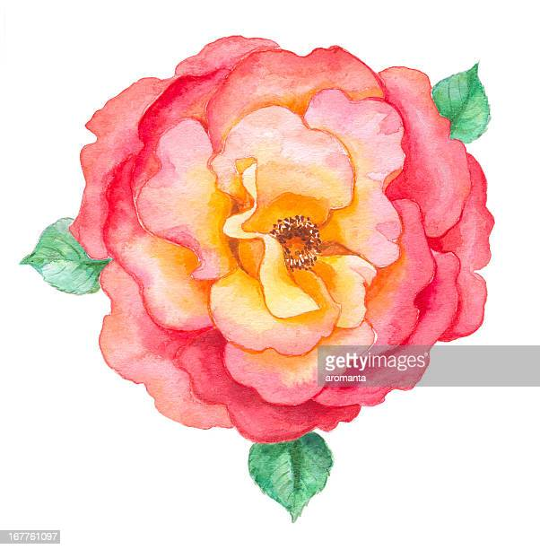 romantic rose in watercolor - rose flower stock illustrations, clip art, cartoons, & icons