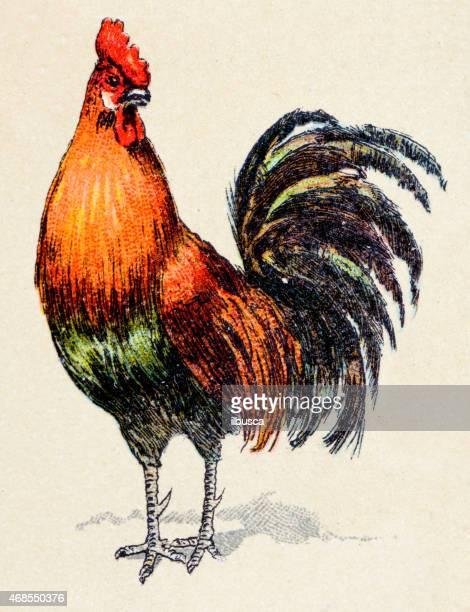 Rooster, birds animals antique ilustration