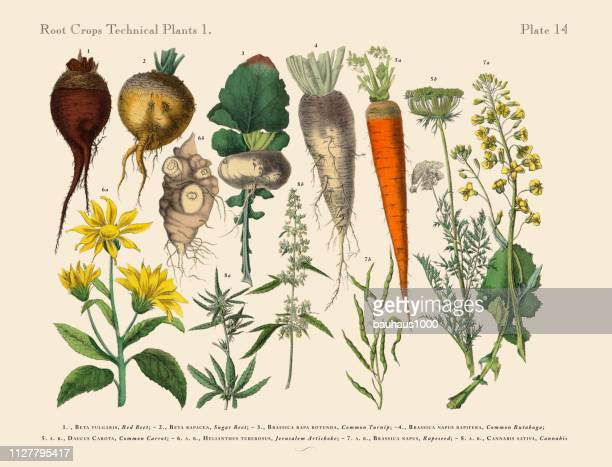 root crops and vegetables, victorian botanical illustration - parsnip stock illustrations, clip art, cartoons, & icons