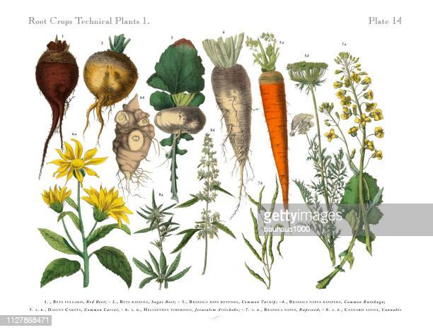 root crops and vegetables, victorian botanical illustration - lithograph stock illustrations