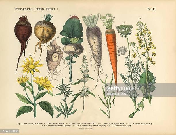 root crops and vegetables, victorian botanical illustration - botany stock illustrations