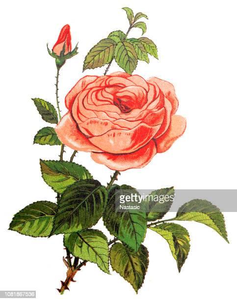 bildbanksillustrationer, clip art samt tecknat material och ikoner med rosa centifolia (buske rose) - taggig buske