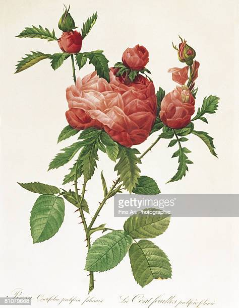 rosa centifolia prolifera foliacea - botany stock illustrations