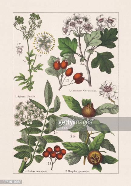 rosaceae, chromolithograph, published in 1895 - chromolithograph stock illustrations