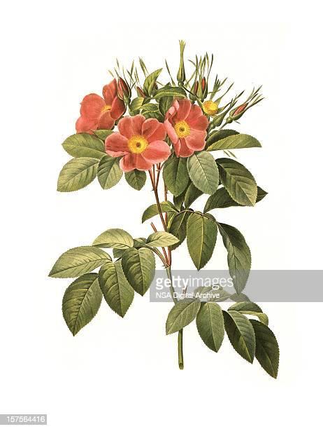 xxl rose | antique flower illustrations - stem topic stock illustrations