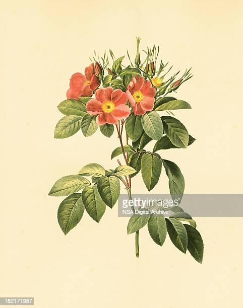 xxl rose | antique flower illustrations - botany stock illustrations