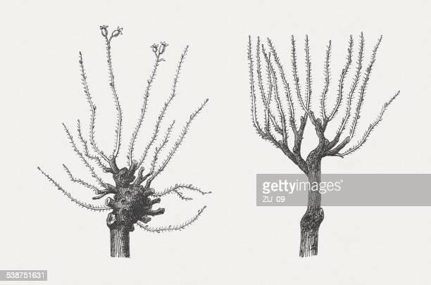 rose bäumen - beschneidung stock-grafiken, -clipart, -cartoons und -symbole