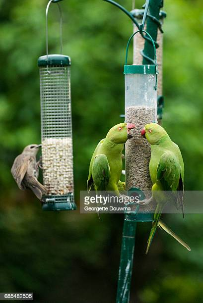rose-ringed or ring-necked parakeets - {{asset.href}} stock illustrations