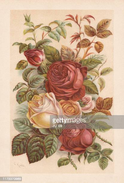 roses, chromolithograph, published in 1894 - rose flower stock illustrations