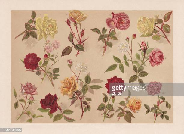 roses, chromolithograph, published in 1899 - red roses garden stock illustrations