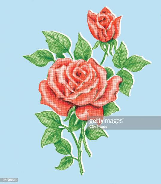 roses - rosa stock illustrations
