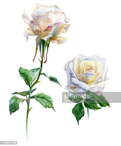 roses watercolor. two flowers. traditional painting - rosa stock illustrations