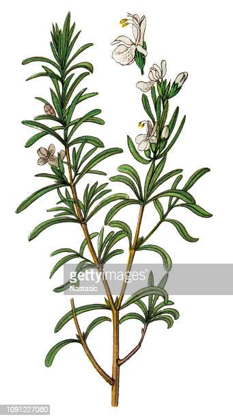 rosmarinus officinalis, commonly known as rosemary - rosemary stock illustrations