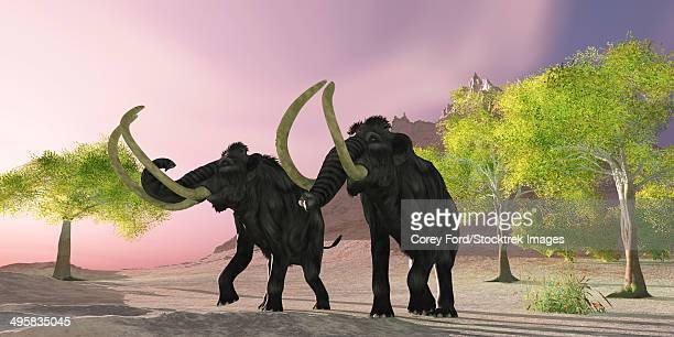 A rosy morning finds two Woolly Mammoths searching for better vegetation to eat.