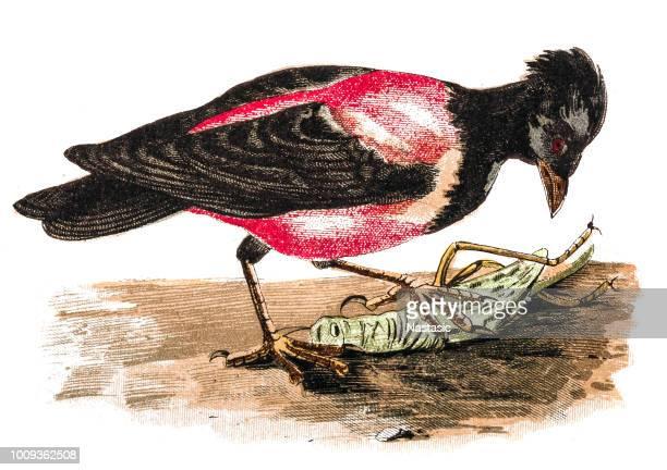 Rosy starling (Pastor roseus)