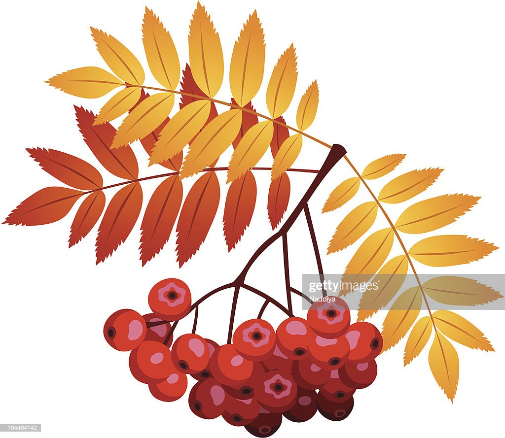Rowan branch with rowanberries and leaves. Vector illustration.