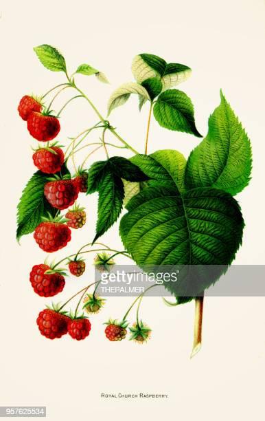 royal raspberry illustration 1892 - raspberry stock illustrations, clip art, cartoons, & icons