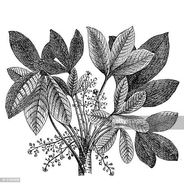 rubber plant (siphonia elastica) - monoprint stock illustrations