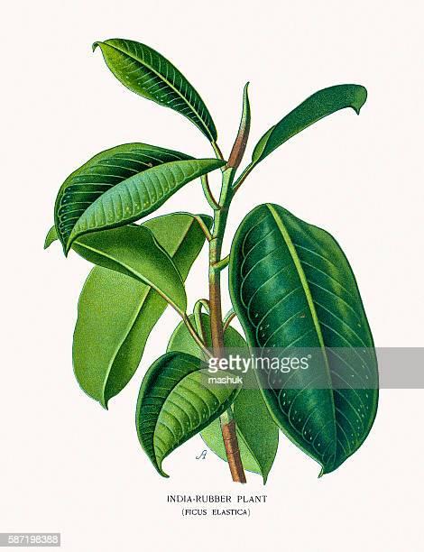 illustrations, cliparts, dessins animés et icônes de rubber plant source of latex - plante verte