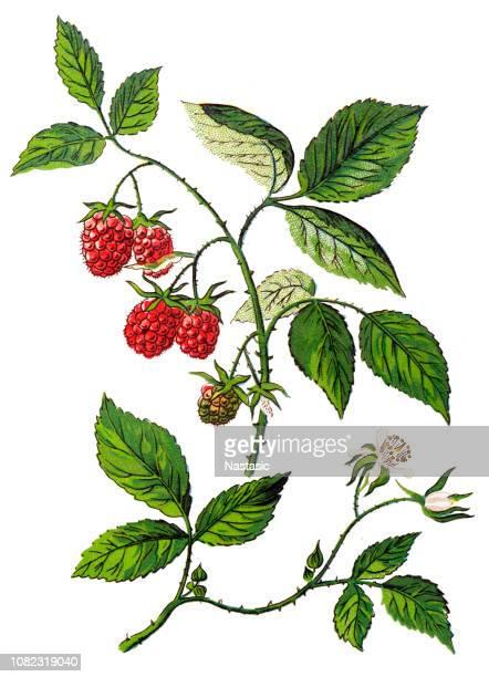 rubus idaeus ,raspberry, also called red raspberry or occasionally as european raspberry - raspberry stock illustrations, clip art, cartoons, & icons