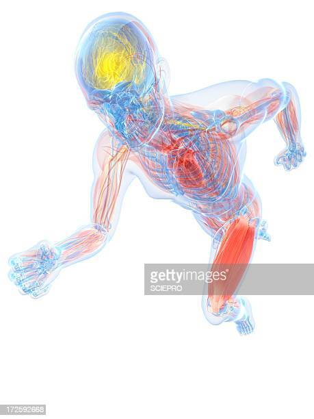 60 Top Overview Of The Cardiovascular System Stock