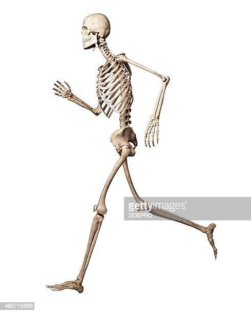 ilustraciones, imágenes clip art, dibujos animados e iconos de stock de running skeleton, artwork - esqueleto humano