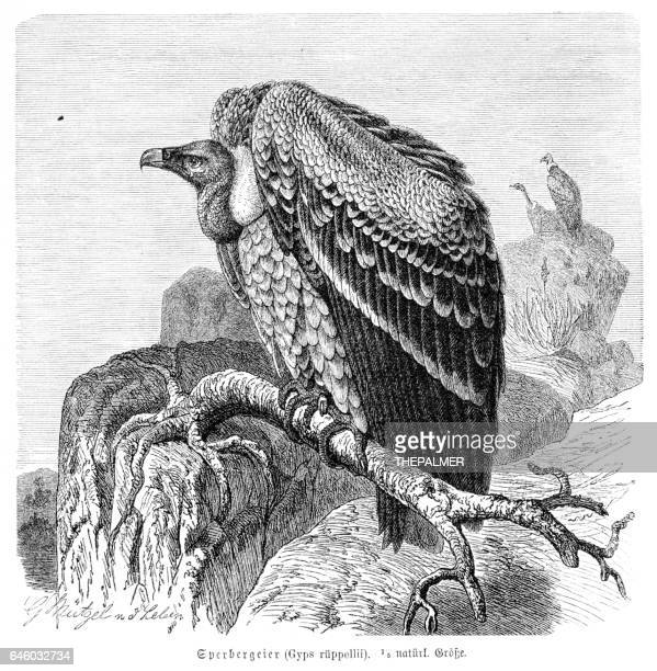 Ruppell's vulture engraving 1892