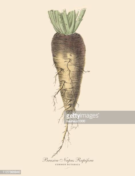 rutabaga, root crops and vegetables, victorian botanical illustration - rutabaga stock illustrations, clip art, cartoons, & icons