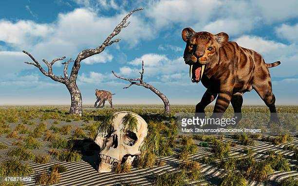 A Sabre Tooth Tiger discovers a humanoid skull.