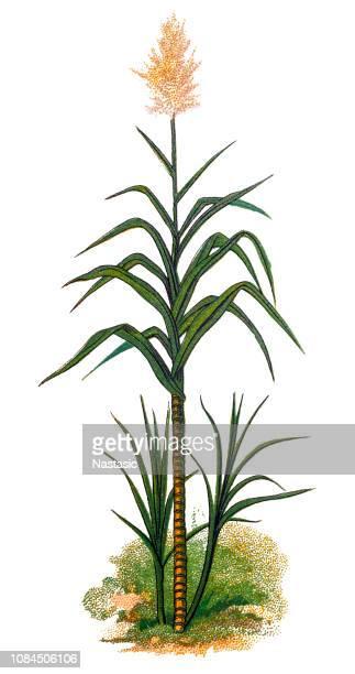 saccharum officinarum, sugarcane - sugar cane stock illustrations