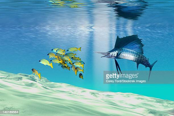 A sailfish hunts prey on a sandy reef.