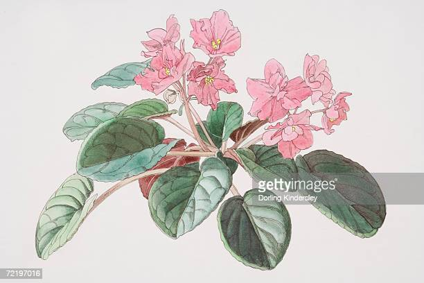 Saintpaulia, African Violet with pink flowers.