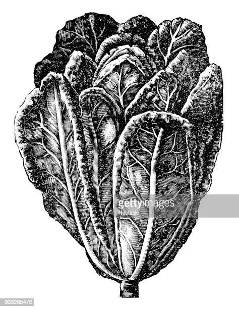 salad - etching stock illustrations